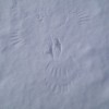 A trace of a hawk attacking a mouse on the icy lake, a mouse made a wrong mistake (lethal one) by entering an open area